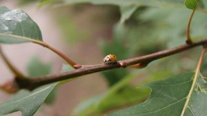 Yellow ladybug on a small branch