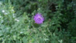 Purple plumeless thistles flower