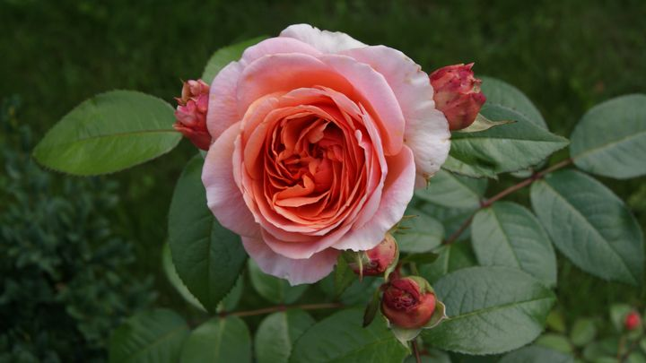 Pink red rose in a garden - Patryk Frey