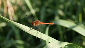 Red dragonfly resting on a grass
