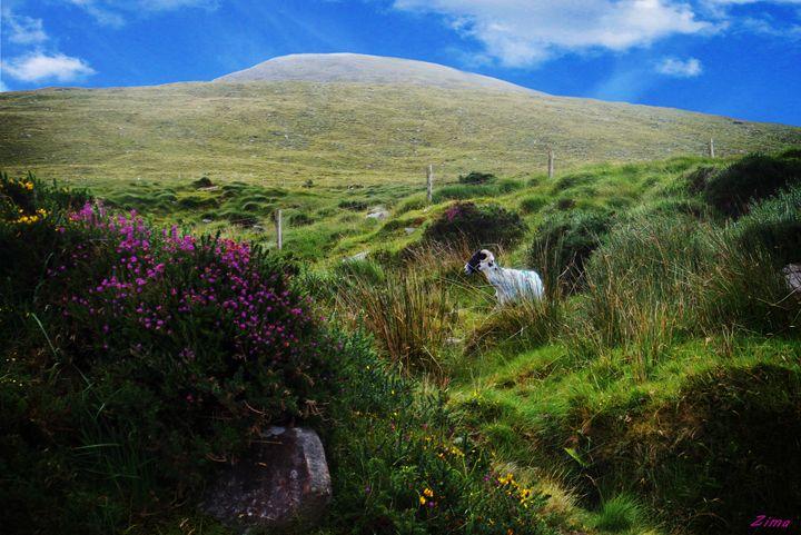 Irish Ram - Zima