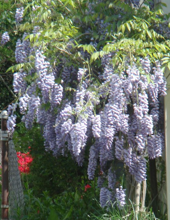 Wisteria in late Spring - Earthworks Art Designs and Photography