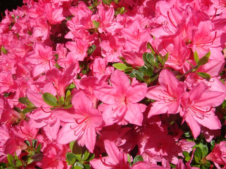 Pink Azaleas - Earthworks Art Designs and Photography