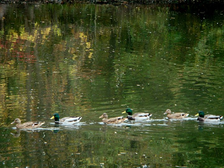 Getting Your Ducks in A Row - Earthworks Art Designs and Photography