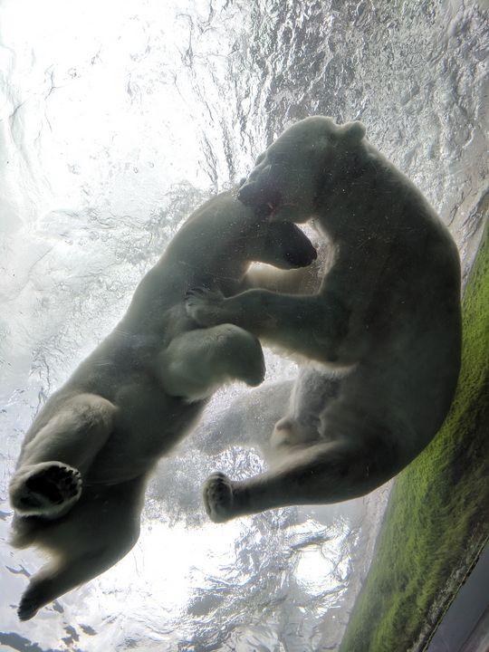Playing polar bears - Karen Smith