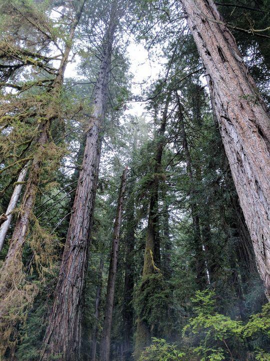 Redwood Forest - Karen Smith