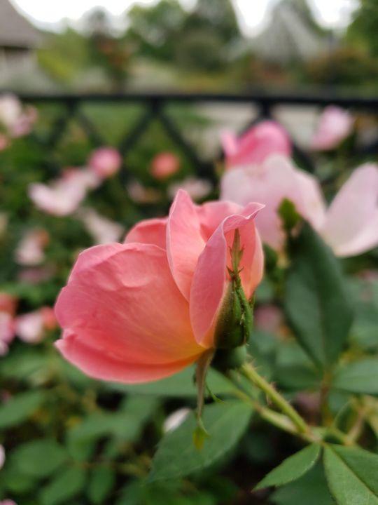 Pink rose - Karen Smith