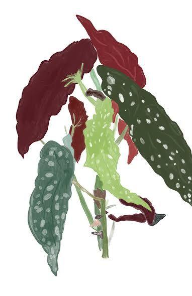 Begonia Maculata - maddi made