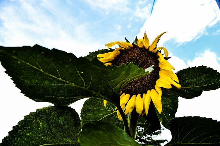 Sunflower - Downlightphotography