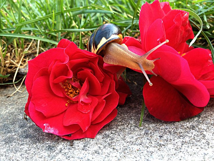 Snail Roses - Renee leanne Smith