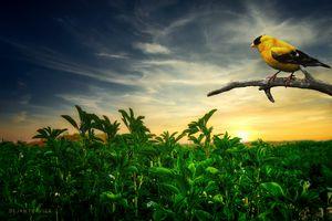 Little yellow bird in the field