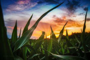 A view through the corn field
