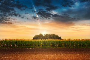Corn in the field at sunset