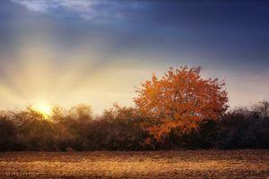 Golden tree in the autumn field