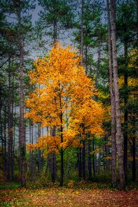 Yellow tree in the forest