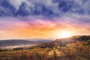 Oplenac vineyards