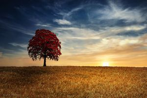 Red tree in the golden field