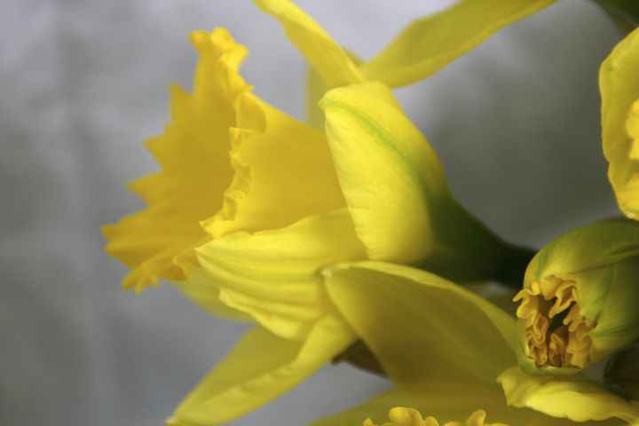 Soft and delicate daffodils - Sue Rode Photography