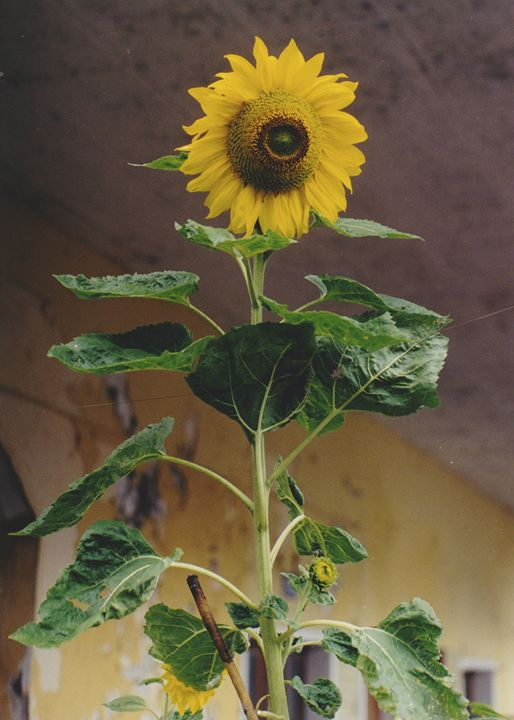 Old Time Sunflower - Sue Rode Photography