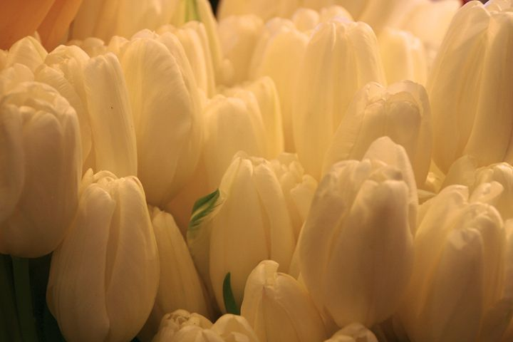 Ethereal white tulips - Sue Rode Photography