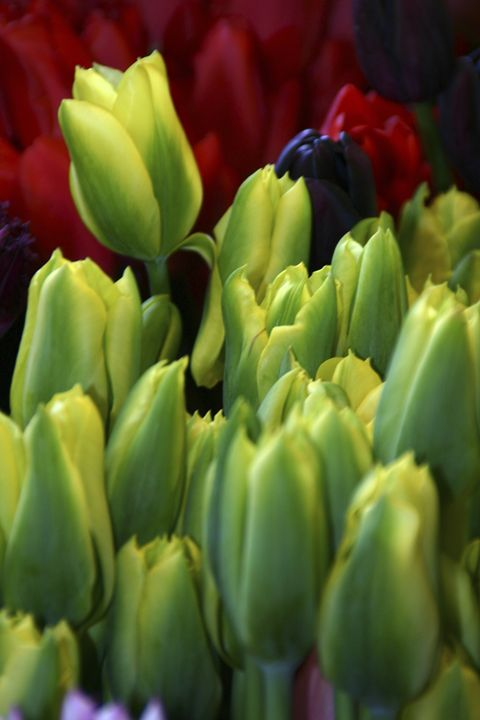 Green and yellow tulips - Sue Rode Photography