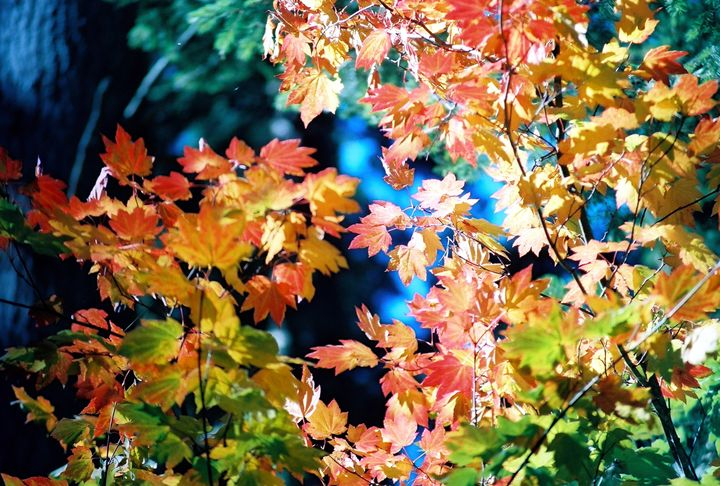 Fall leaves, with brilliant color - Sue Rode Photography