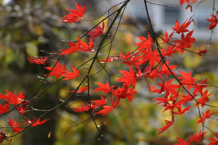 bushy red leaves - Sue Rode Photography