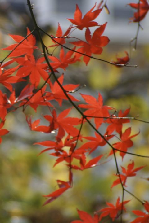 Red leaves - Sue Rode Photography