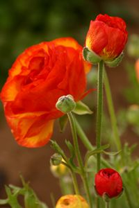 Orange-red ranunculus - Sue Rode Photography