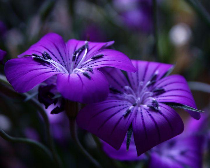 Deep, sensuous tulips - Sue Rode Photography
