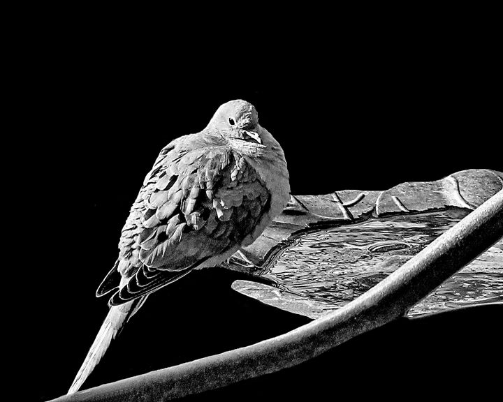 Mourning Dove - My Favorite Photos