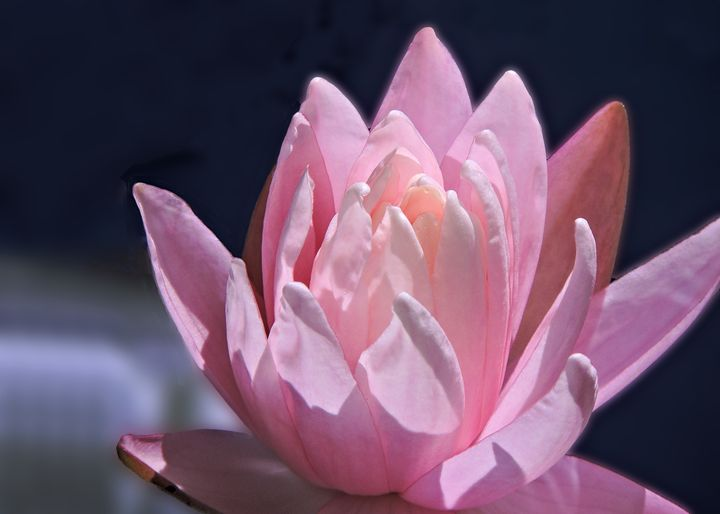Water Lily - My Favorite Photos