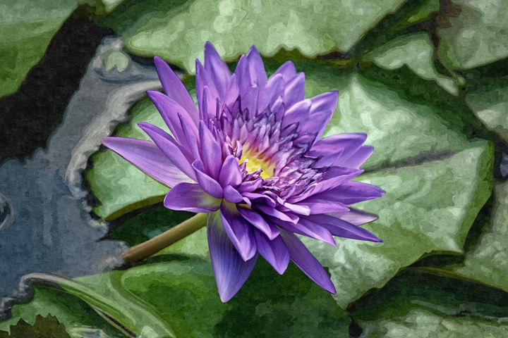 Purple Waterlily - My Favorite Photos