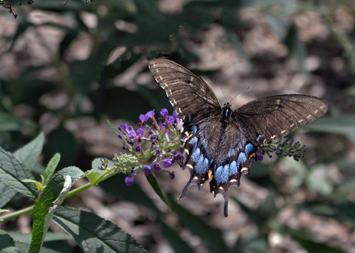 Eastern Black Swallowtail - My Favorite Photos