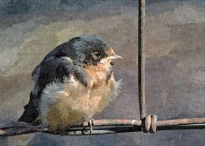 Barn Swallow - Windy Warrior - My Favorite Photos