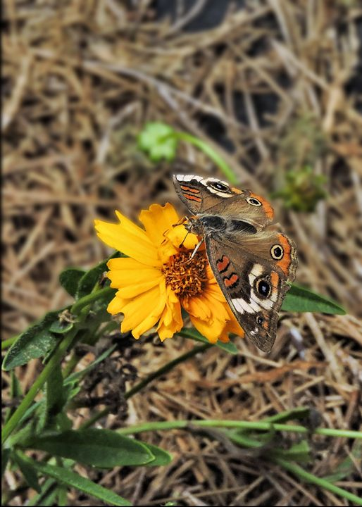 Common Buckeye Butterfly - My Favorite Photos