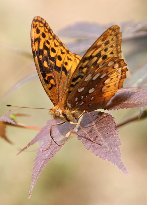 Great Spangled Fritillary - My Favorite Photos