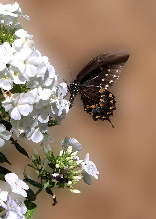 Spicebush Swallowtail - My Favorite Photos