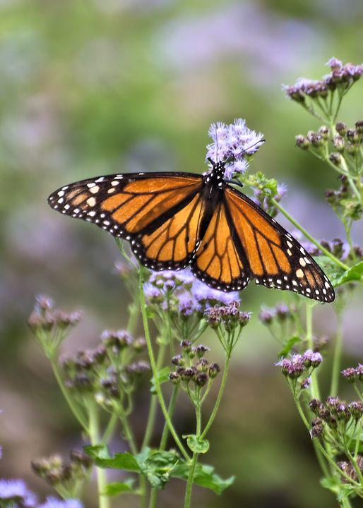 Monarch Butterfly - My Favorite Photos