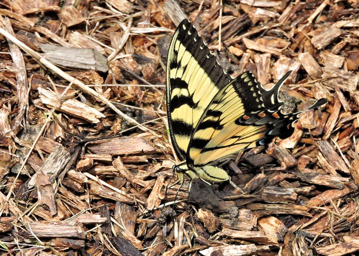 Eastern Tiger Swallowtail - My Favorite Photos