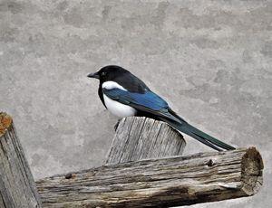 Black-billed Magpie - My Favorite Photos