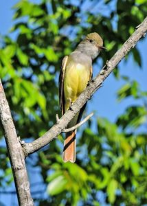 Great Crested Flycatcher - My Favorite Photos