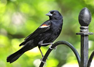 Red-winged Blackbird - My Favorite Photos