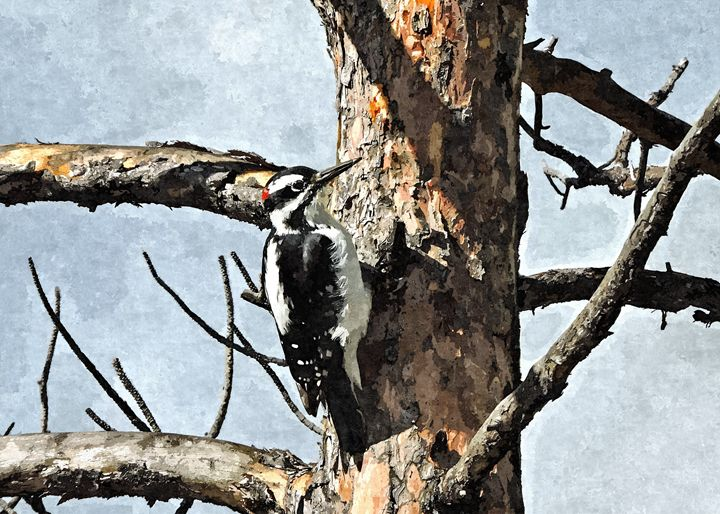 Hairy Woodpecker - West Yellowstone - My Favorite Photos