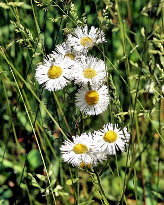 Wild Daisies - My Favorite Photos