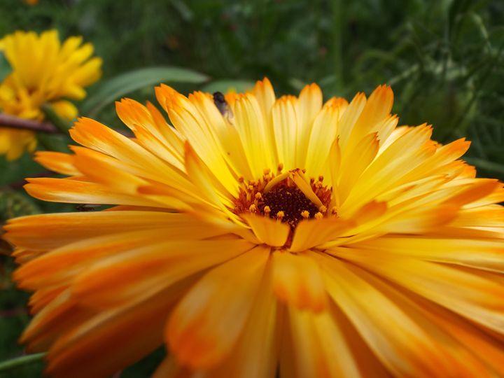 Marigold - KJLowe