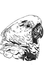 Cockatoo Sketch (Digital Art)