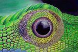 grandis lizards