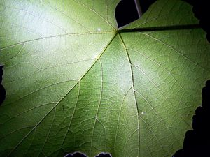 Grape Leaf - Rebecca Ledford