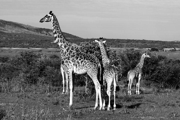 Giraffe Family - Aidan Moran Photography